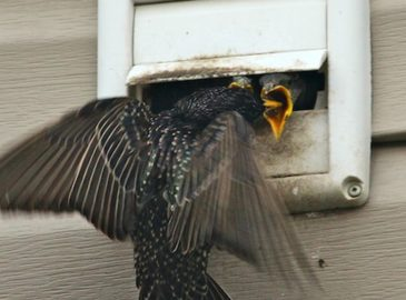 Starlings-Nesting-in-Vent